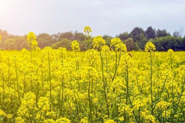 Champ de moutarde en début d'été, en période de floraison