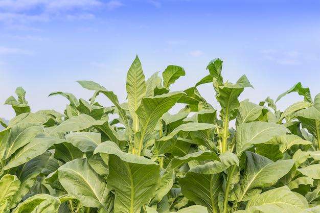 Champ de nicotiana tabacum