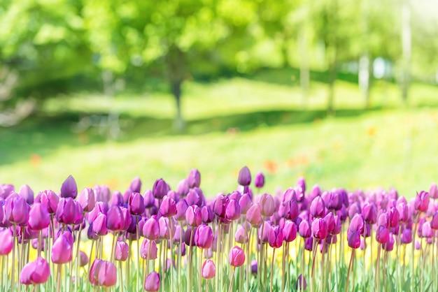 Champ de nombreuses tulipes lilas dans le parc verdoyant avec lumière du soleil