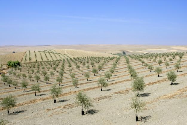 Champ d'olives vertes dans une journée ensoleillée d'été