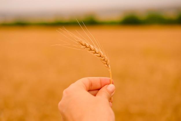 Champ d'orge de blé un épillet d'or de gros plan de blé dans la main féminine sur le blé flou naturel et