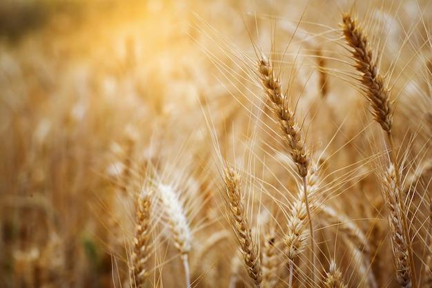 Champ d'orge de blé mûr au coucher du soleil de l'été