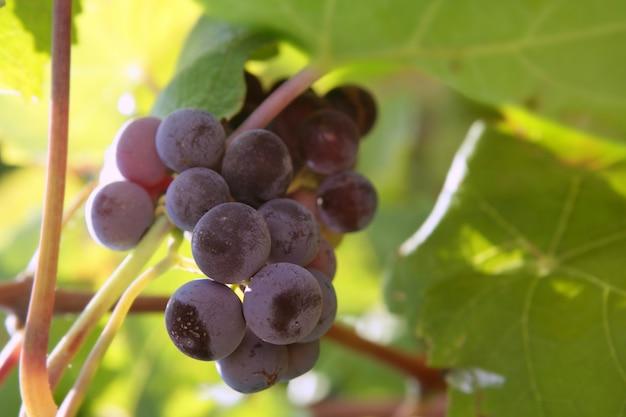 Champ de pamplemousse rouge vin agriculture