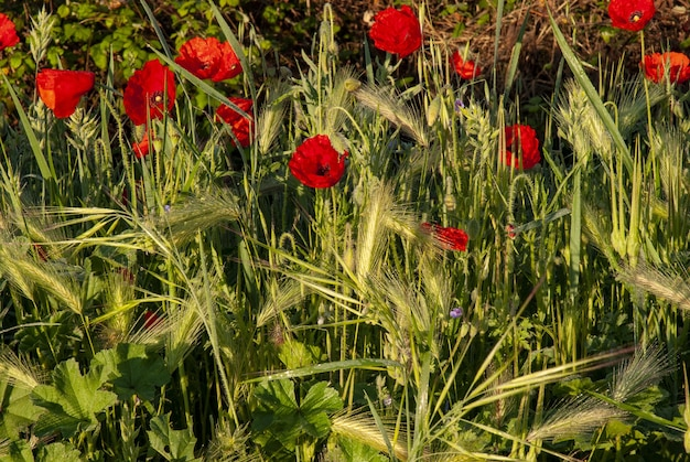 Champ de pavot entouré de verdure sous la lumière du soleil avec un arrière-plan flou