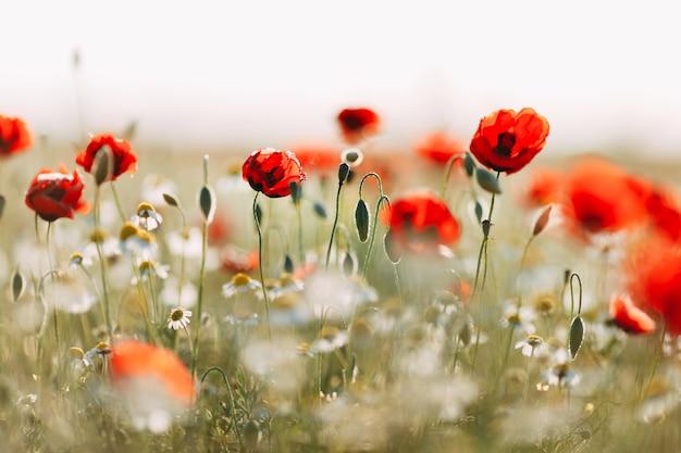 Champ de pavot à fleurs papaver rhoeas au printemps