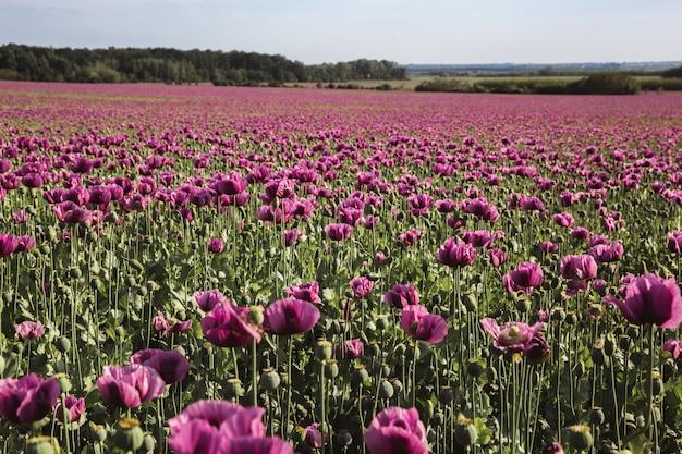 Champ de pavot lilas fleurs au soleil en début d'été