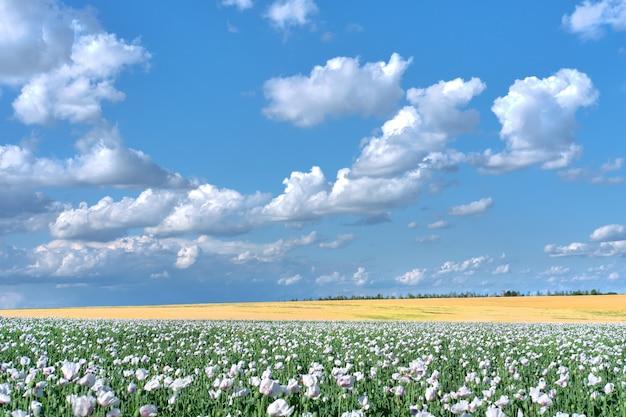 Champ de pavot à opium blanc, en latin papaver somniferum. cloudscape, ciel avec nuages. le pavot de couleur blanche est cultivé en république tchèque