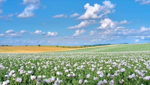 Champ de pavot à opium blanc, en latin papaver somniferum. image panoramique, cloudscape, ciel avec nuages. le pavot de couleur blanche est cultivé en république tchèque