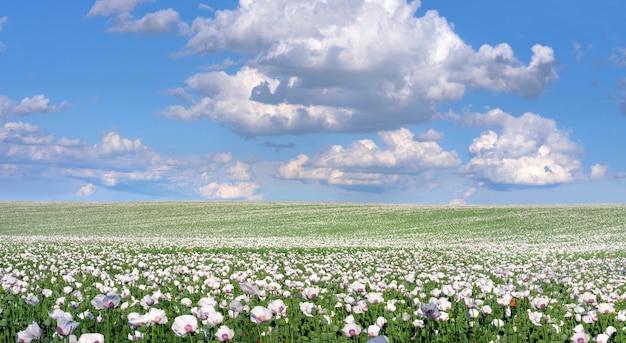Champ de pavot à opium blanc