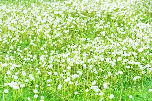 Champ de pissenlits blancs avec de l'herbe verte