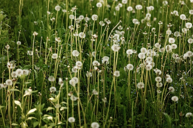 Un champ de pissenlits. nature paysage de prairie verte.