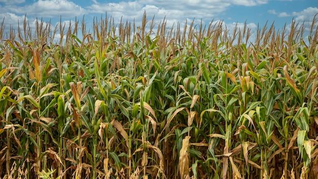 Champ de plantation de maïs, nourriture pour animaux et humains.