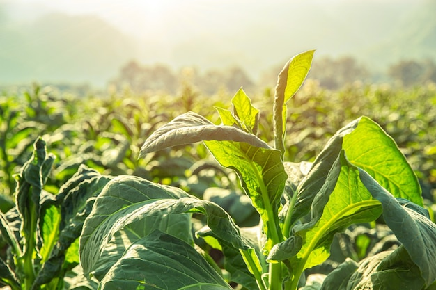 Champ de plantes de l'agriculture du tabac avec fond de colline de montagne magnifique campagne.