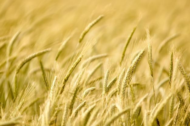 Champ de plantes de cultures de blé en été. profondeur de champ
