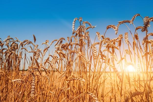 Champ plein d'épis de blé doré
