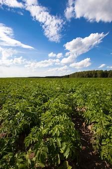 Champ de pommes de terre - un champ agricole sur lequel poussent des pommes de terre. été de l'année