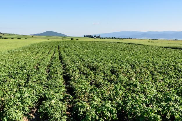 Champ de pommes de terre à l'été en roumanie, en transylvanie.