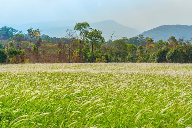 Champ et prairie herbe verte fleur blanche avec la campagne rurale et montagne arbre