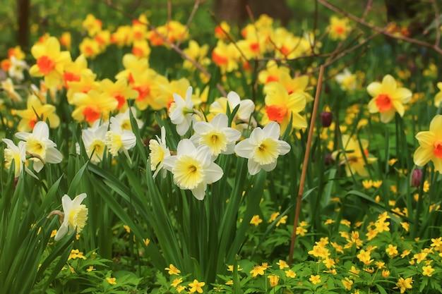 Champ de printemps de jonquilles en fleurs