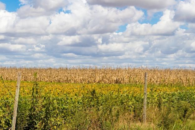 Champ recouvert de soja et de maïs prêt à être récolté