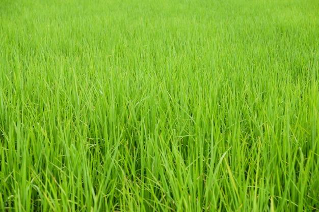 Champ de riz au jasmin au lever du soleil