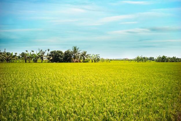 Champ de riz au jasmin en thaïlande
