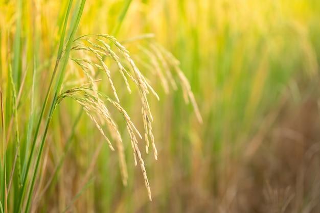 Champ de riz au nord de la thaïlande