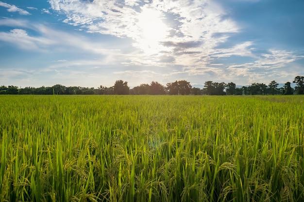 Champ de riz avare et lumière du soleil avec des nuages de ciel bleu