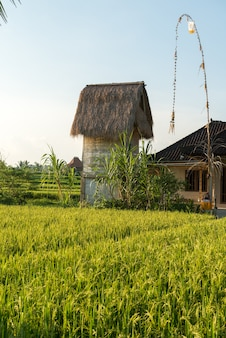 Champ de riz à bali