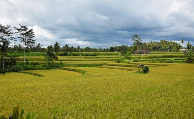Champ de riz avec beau ciel. bali, indonésie.