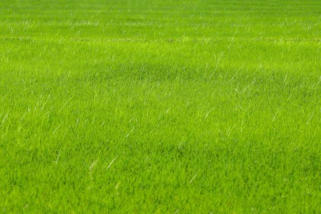Le champ de riz bébé vert