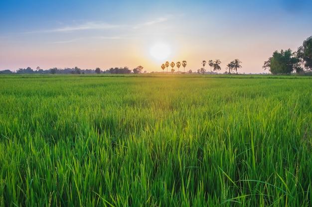 Champ de riz sur fond de ciel orange bleu au lever du soleil en thaïlande