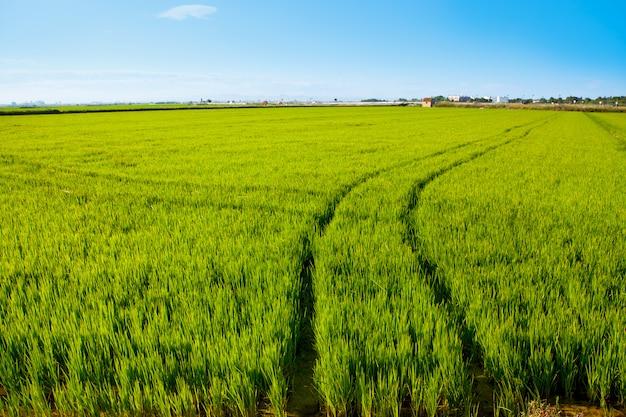 Champ de riz d'herbe verte en espagne valencia