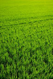 Champ de riz d'herbe verte à valence en espagne
