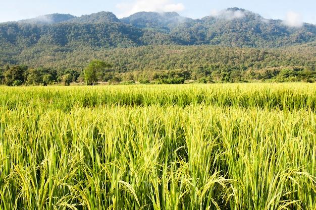 Champ de riz jaune à chiang mai, thaïlande.