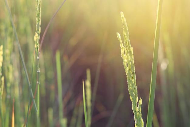 Champ de riz le matin avec le soleil qui brille à travers.
