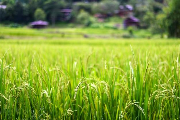 Champ de riz paddy vert au lever du soleil