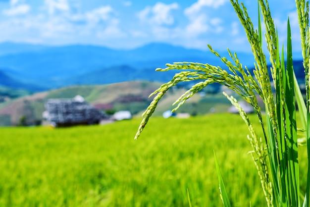 Champ de riz paddy vert avec petite cabane en bambou, chiang mai, thaïlande