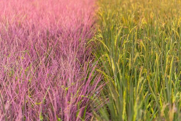 Champ de riz rose dans la province de phitsanulok. thaïlande. la nouvelle couleur du riz dont la découverte accidentelle