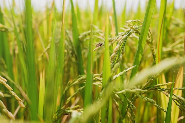 Champ de riz se bouchent