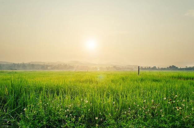 Champ de riz et soleil matin.