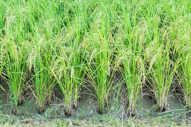 Champ de riz en thaïlande. oreille de riz ou oreille de paddy.