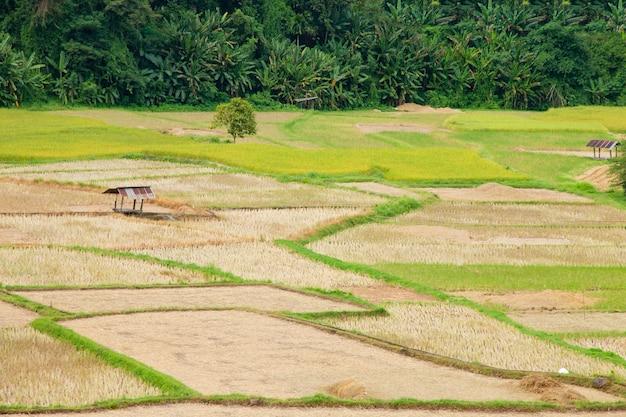 Champ de riz en thaïlande
