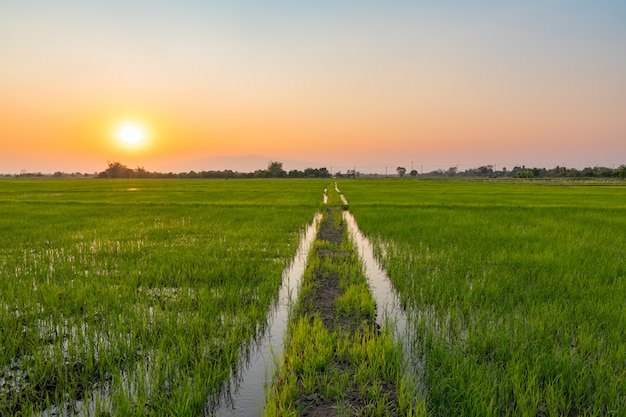 Champ de riz vert au coucher du soleil