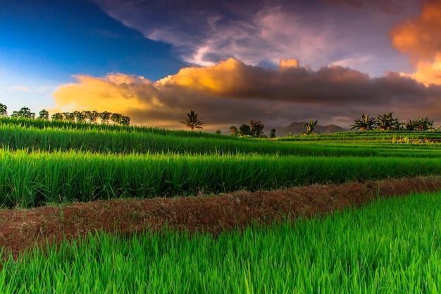 Champ de riz vert avec beau ciel au-dessus