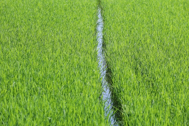 Champ de riz vert bébé dans la campagne à la thaïlande