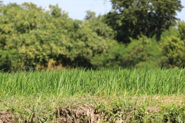 Champ de riz vert à la campagne