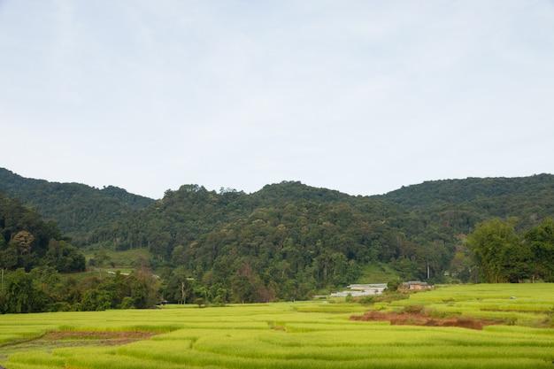 Champ de riz vert à chiangmai, thaïlande