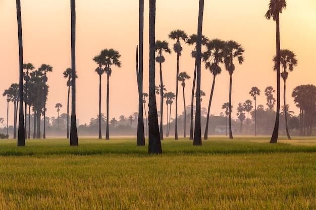 Champ de riz vert le matin sur palmier pendant l'heure du lever du soleil