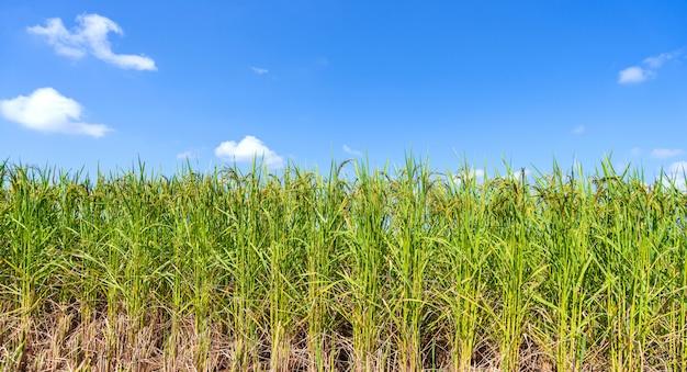 Champ de riz vert le matin sous un ciel bleu